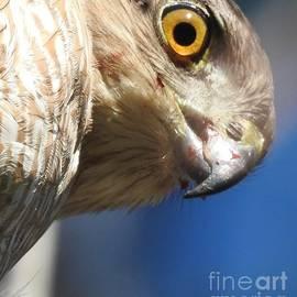 Jan Gelders - A Hawk