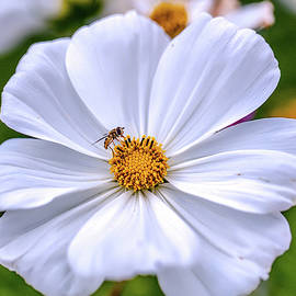 Leif Sohlman - A Hoverfly in flower #e3