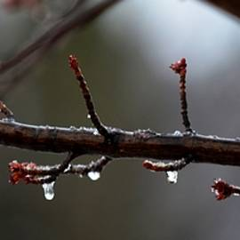 Karen  Majkrzak - A Little Ice on Maple Tree