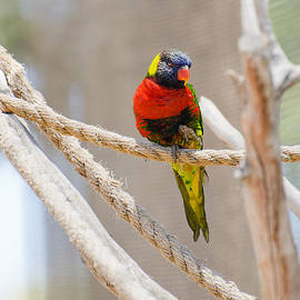 MaryJane Armstrong - A Lorikeet from the Rainforest