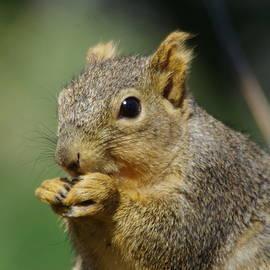 A nibbling squirrel