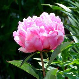 Ed Mosier - A Nice Pink Peony