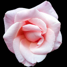 Martin Wall - A Pink Rose