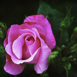 Trina Ansel - A Pink Rose