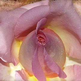 Phyllis Denton - A Pink Rosebud