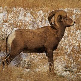 Jeff Swan - A proud Ram
