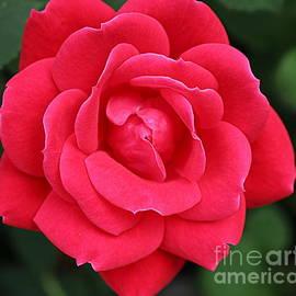 Photographic Art and Design by Dora Sofia Caputo - A Red Rose for Valentine