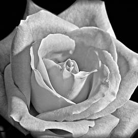 Tracy F - A Rose in White