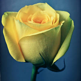 Tracy F - A Rose in Yellow