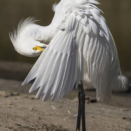 Bruce Frye - A Snowy Egret Grooming- Two