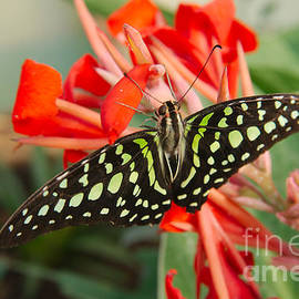 Mickeys Photography - A Tailed Jay