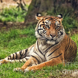 Jim Fitzpatrick - A Tiger Relaxing on a Cool Afternoon