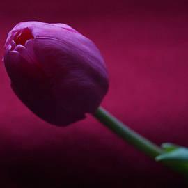 Lana Art - A Tulip