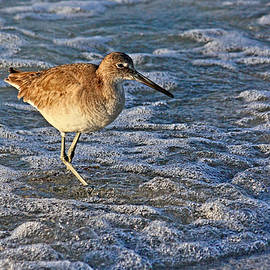 HH Photography - A Wading Willet