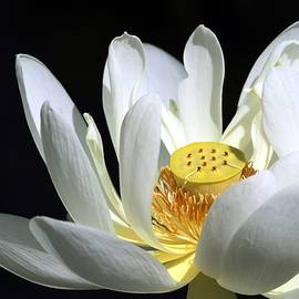 Sabrina L Ryan - A White Lotus
