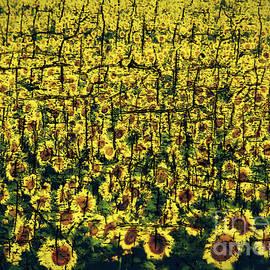 Janice Rae Pariza - Abstract Sunflowers