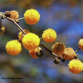 Tom Janca - Acacia Blossoms