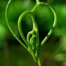 Esther Brueggemeier - Acacia merinthophora - foliage