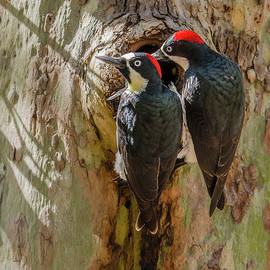 Morris Finkelstein - Acorn Woodpecker Pair