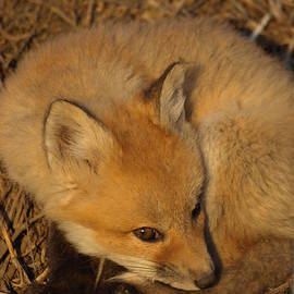 James Peterson - Adorable Fox Kit
