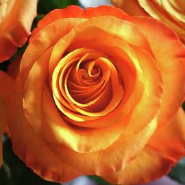 Helene Fallstrom - Adorable rose