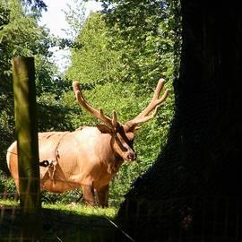 Warren Thompson - Adult Elk