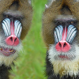 Jim Fitzpatrick - Adult Male Mandrills
