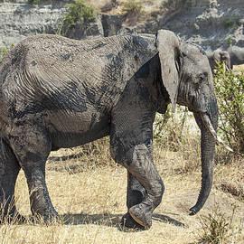 Sally Weigand - African Elephant Walking