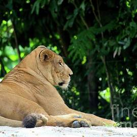 Imran Ahmed - African female lion relaxes and rests to beat heat