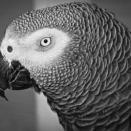 Venetia Featherstone-Witty - African Grey Parrot