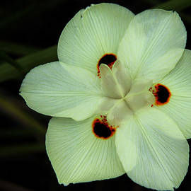 Judy Vincent - African Iris 2