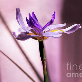 Kay Brewer - African Iris in Mauve