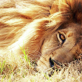 African Lion Closeup Lying in Grass - Susan Schmitz