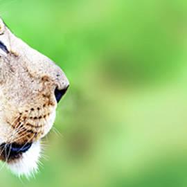 African Lion Face Closeup Web Banner - Susan Schmitz