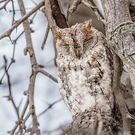 Morris Finkelstein - African Scops Owl Roosting