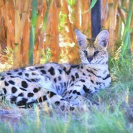 Donna Kennedy - African Serval Wildcat