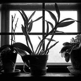 John Myers - African Violets In Window B