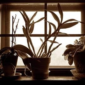 John Myers - African Violets In Window S