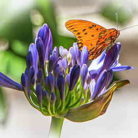 Venetia Featherstone-Witty - Agapanthus and Milkweed Tiger Butterfly