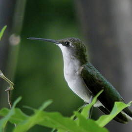 Earl Williams Jr - Ahhh Summer Female Ruby-throated Hummingbird