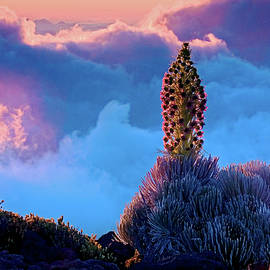 Nature  Photographer - Ahinihina Blue - Silversword blooms at sunset above the clouds at Haleakala