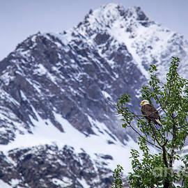 Elizabeth  Ann - Alaska Mountain Bald Eagle