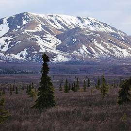 David Broome - Alaskan Spring Mountain Spruce