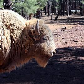 Robert Smitherman - White Bison