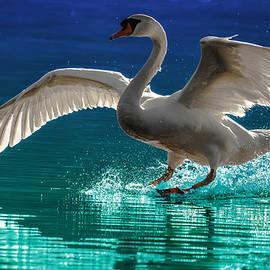 Brian Stevens - Alighting Swan 2