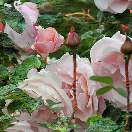 Marie Jamieson - All In Bloom - Roses - Garden