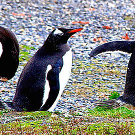 Casavecchia Photo Art - All Our Penguins in a Row