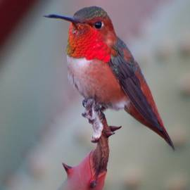 Allen hummingbird male