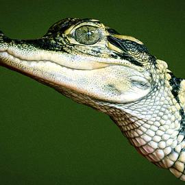 Jean Noren - Alligator on Green