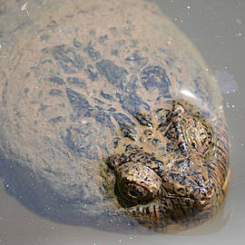 Ally  White - Alligator Snapping Turtle